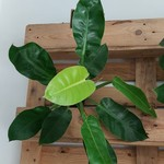 NLS Philodendron Imperial Golden / Moonlight