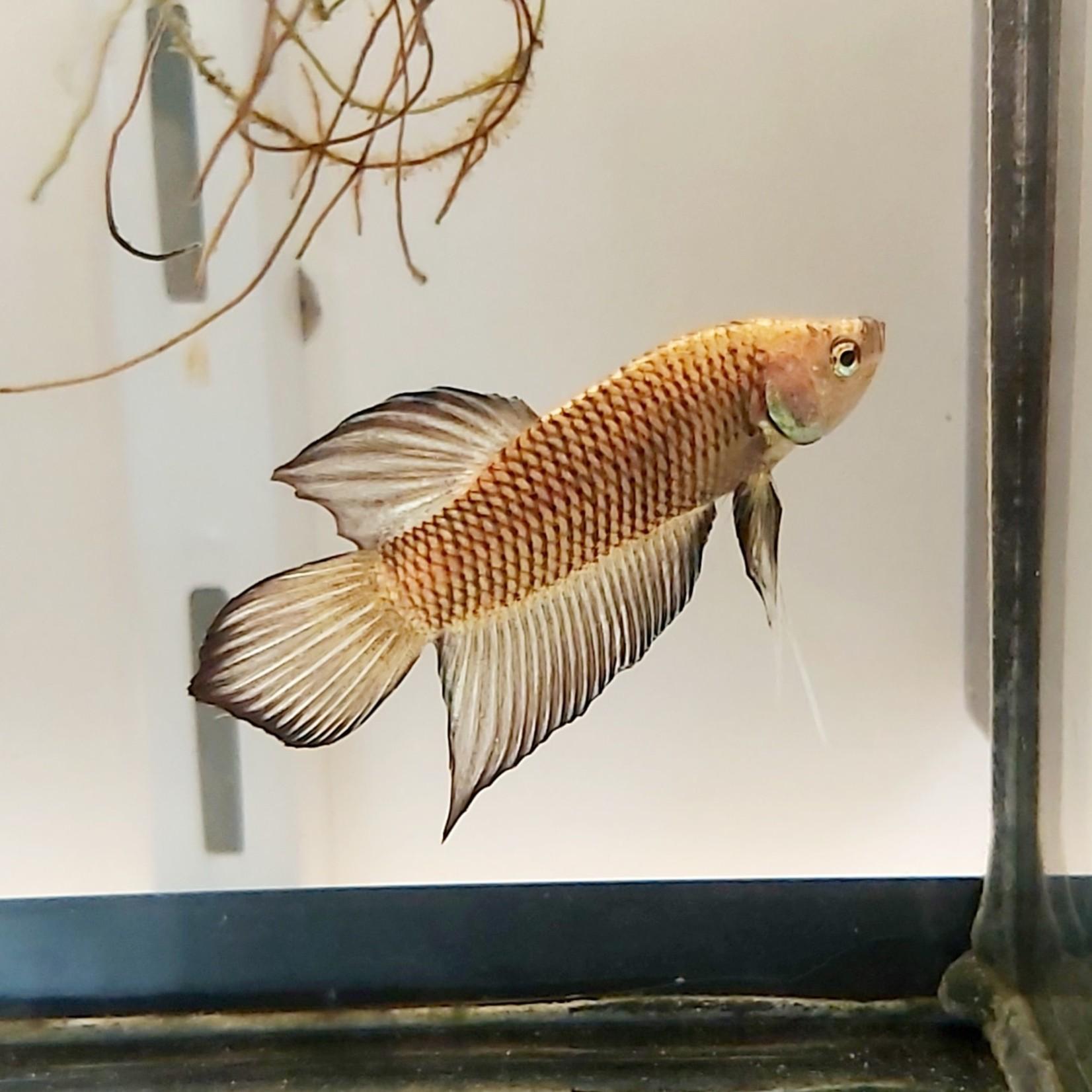 Bubba's Fishs Betta Plakat Yellowcheek Spade
