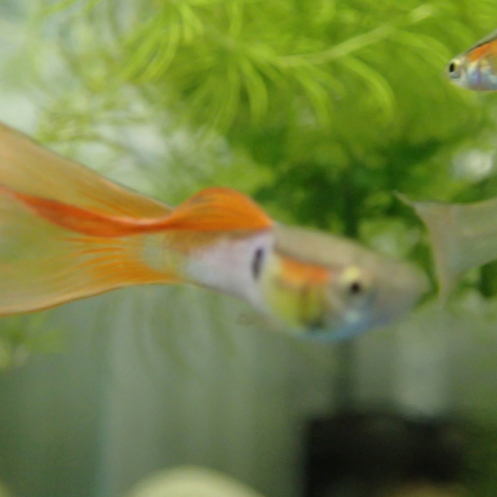 Bubba's Fishs Guppy reticulata - Bleu-orange