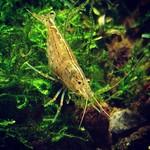 Bubba's Shrimps Japonica - Crevettes d'Amano
