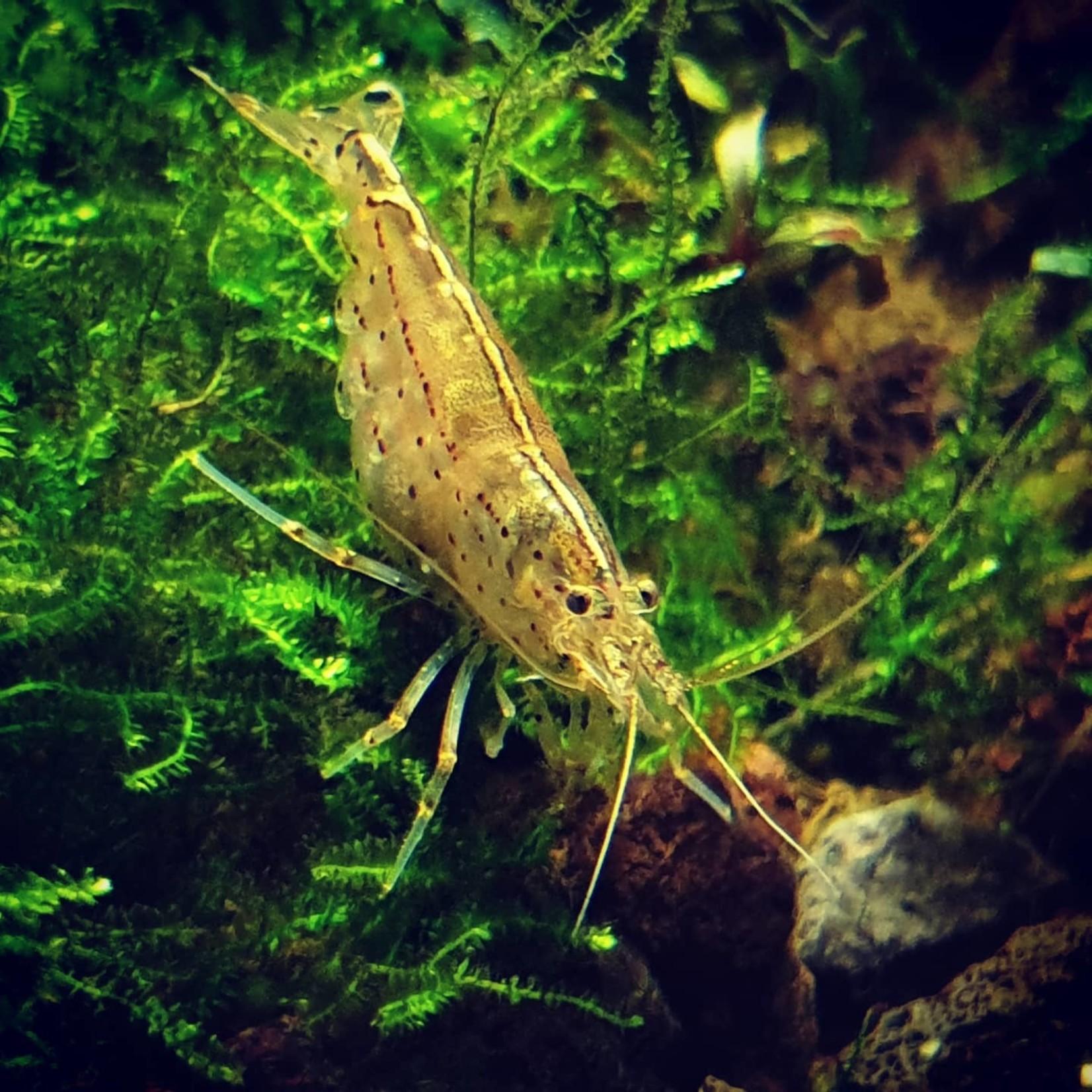 Bubba's Shrimps Caridina multidentata - Japonica - Amano Shrimps