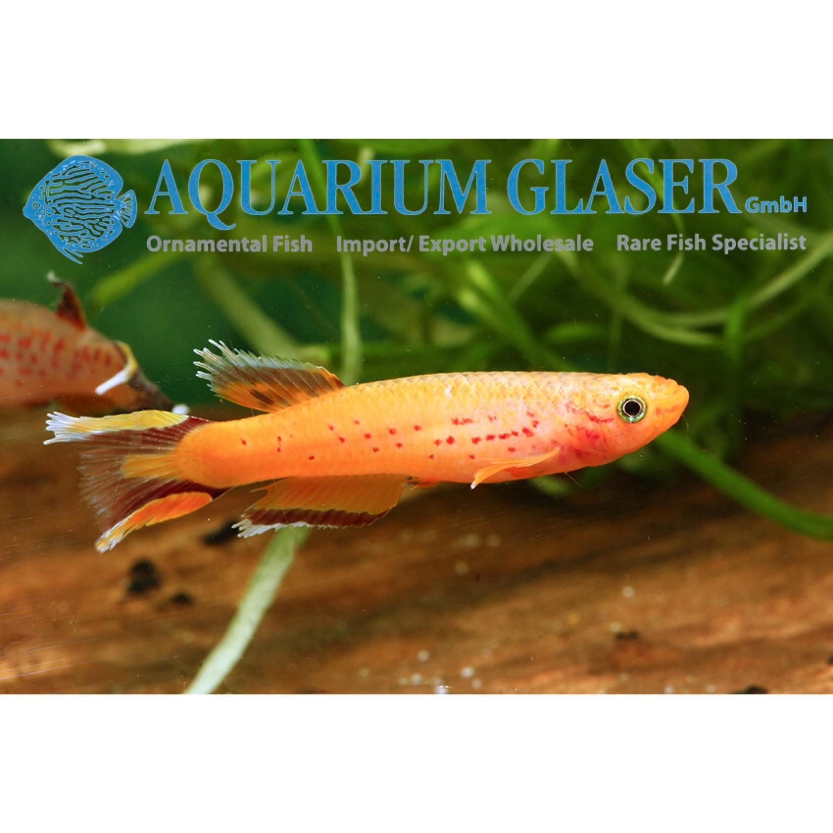Bubba's Fishs Killie - Aphyosemion Australe GOUD