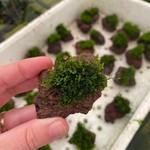 Mousse Riccardia Chamedryfolia - Koraalmos