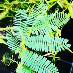 Bubba's Plants Mimosa amphibium