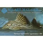 Bubba's Fishs Panaque nigrolineatus - Royal plecostomus L190 (5-7cm)