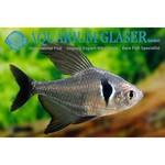 Bubba's Fishs Megalamphodus megalopterus