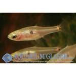 Bubba's Fishs Boraras sp. Rode pickups