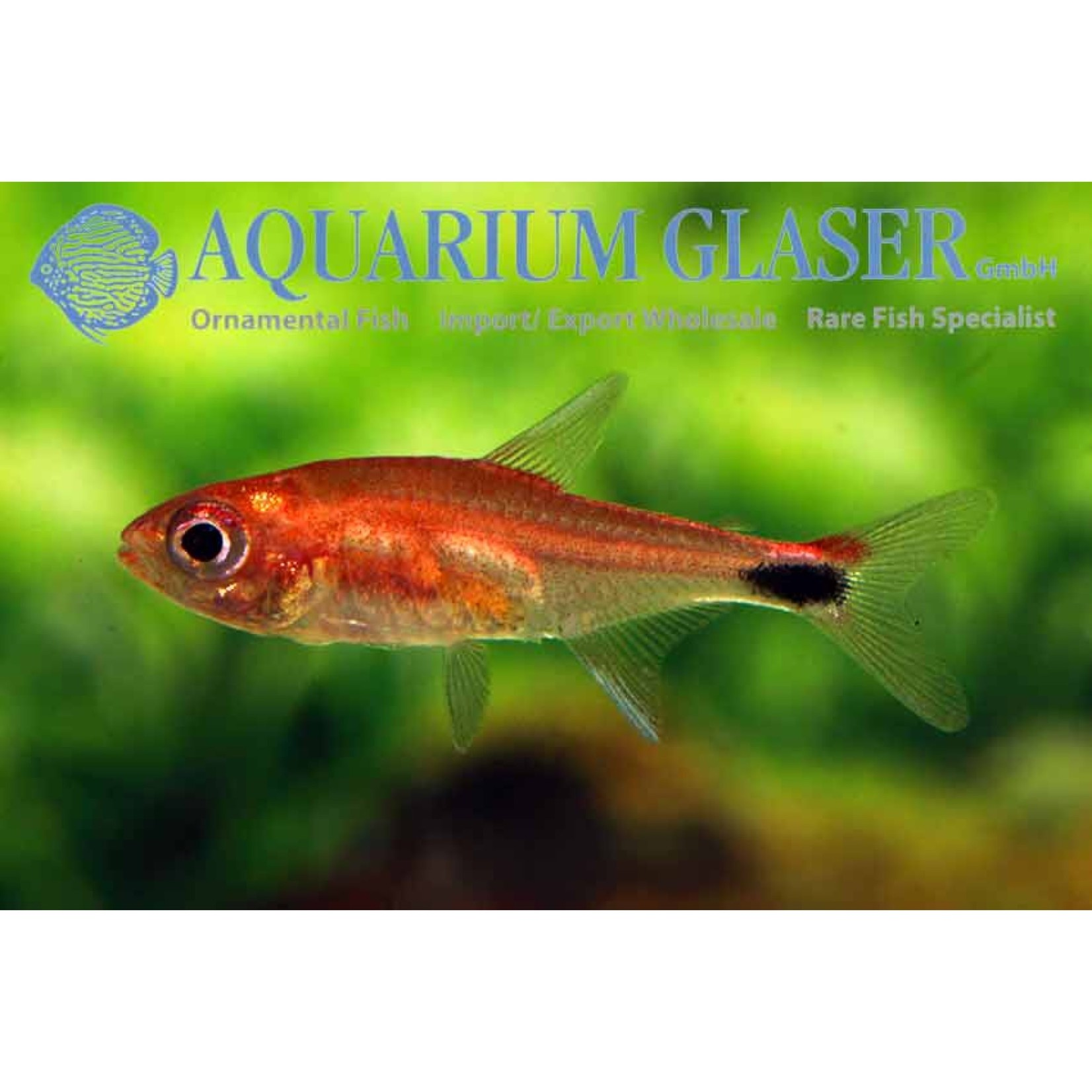 Bubba's Fishs Axelrodia stigmatias - Tetra Poivre
