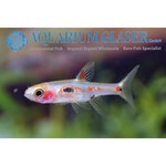 Bubba's Fishs Boraras merah