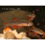 Bubba's Fishs Microrasbora Galaxy