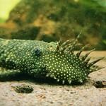 Bubba's Fishs Ancistrus sp.