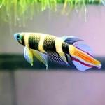 Bubba's Fishs Pseudepiplaty annulatus