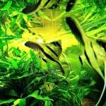 Bubba's Fishs Scalaire MANACAPURU Red Back