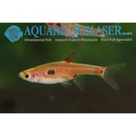 Bubba's Fishs Boraras Maculata