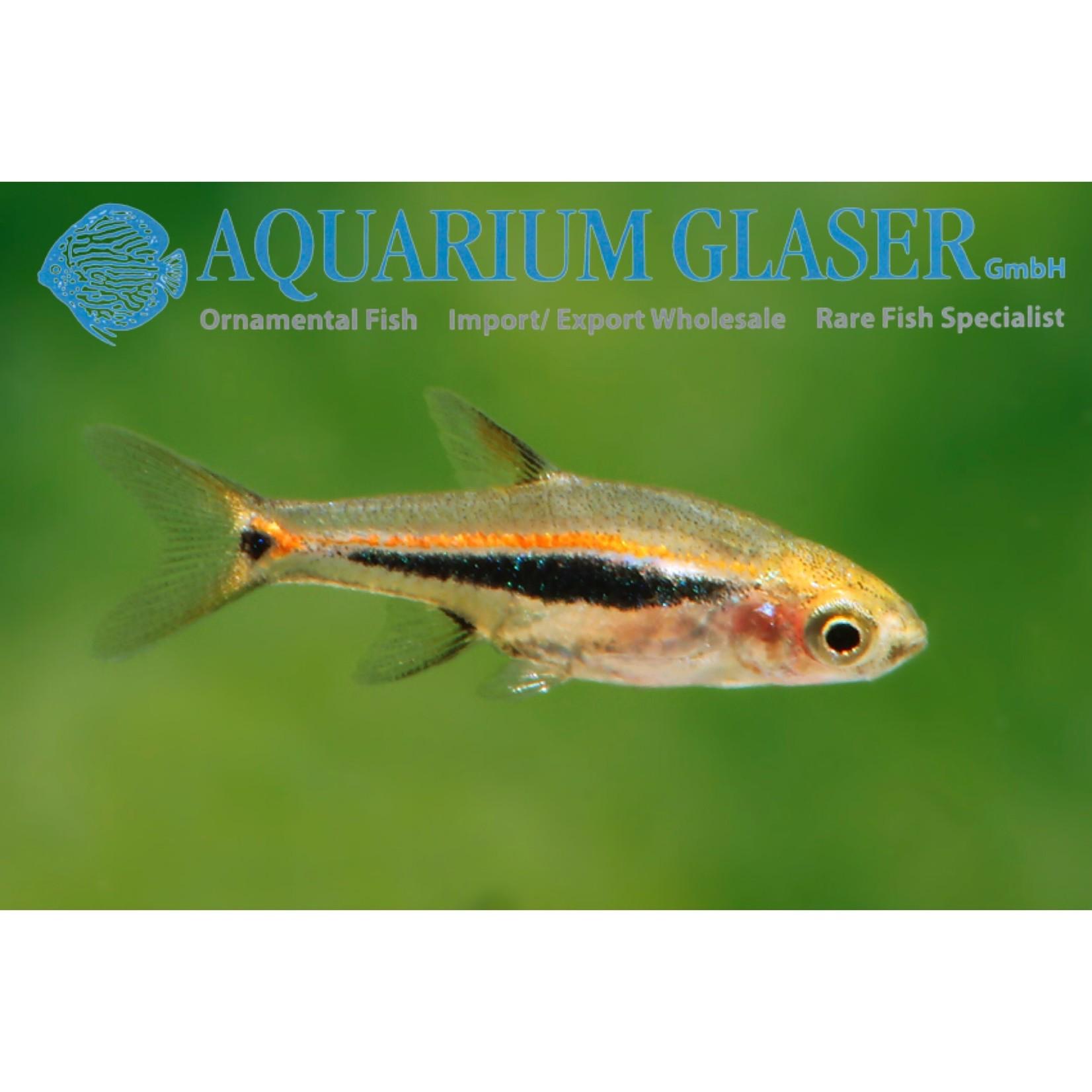 Bubba's Fishs Boraras urophthalmoides