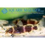 Bubba's Fishs Microsynodontis polli