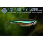 Bubba's Fishs Paracheirodon simulans - Valse neon