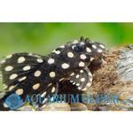 Bubba's Fishs Hypancistrus sp. L471 - Mini Snowball