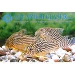 Bubba's Fishs Corydoras sterbai