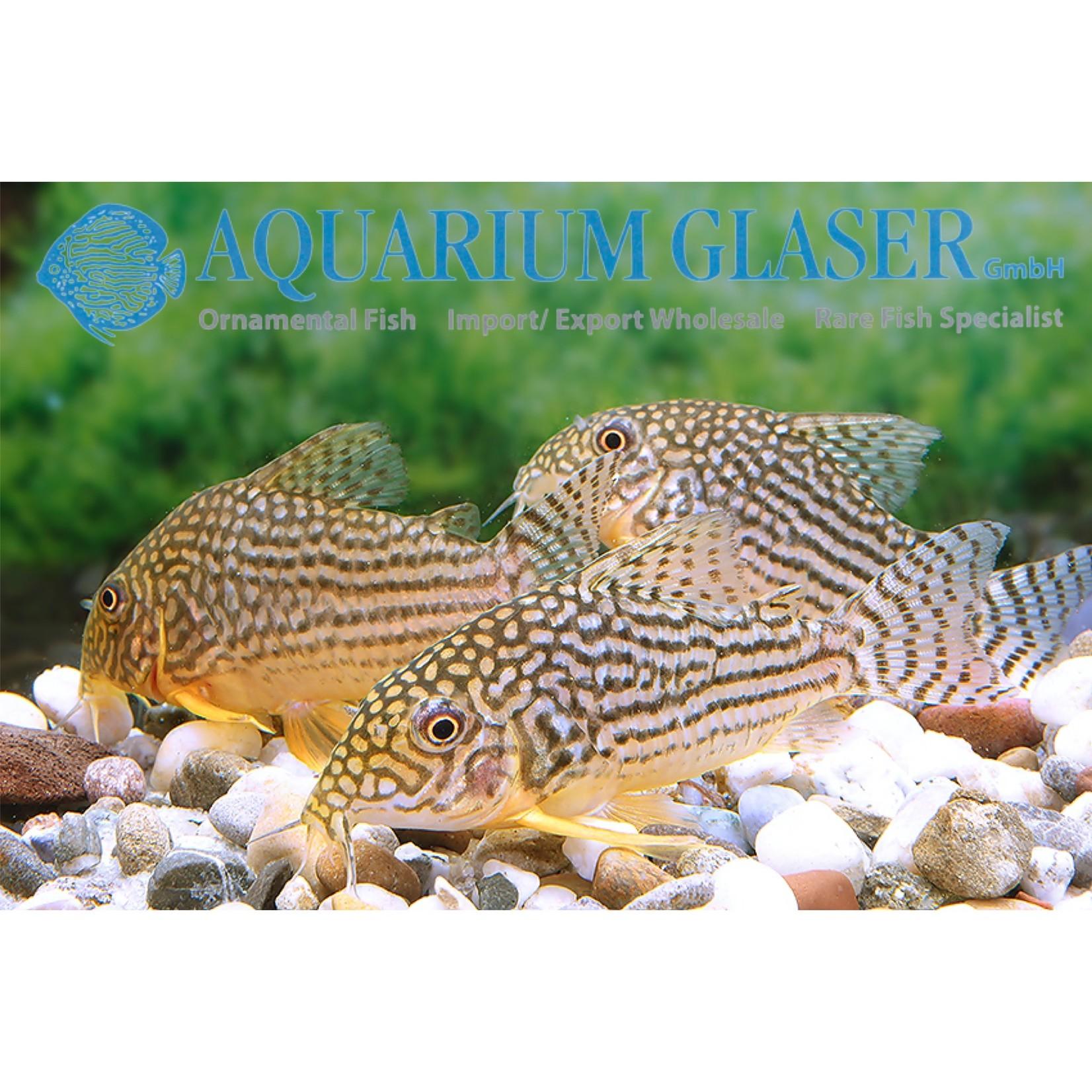 Bubba's Fishs Corydoras sterbai (4-5 cm)