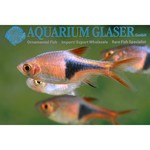 Bubba's Fishs Rasbora Arlequin - Trigonostigma heteromorpha +3cm