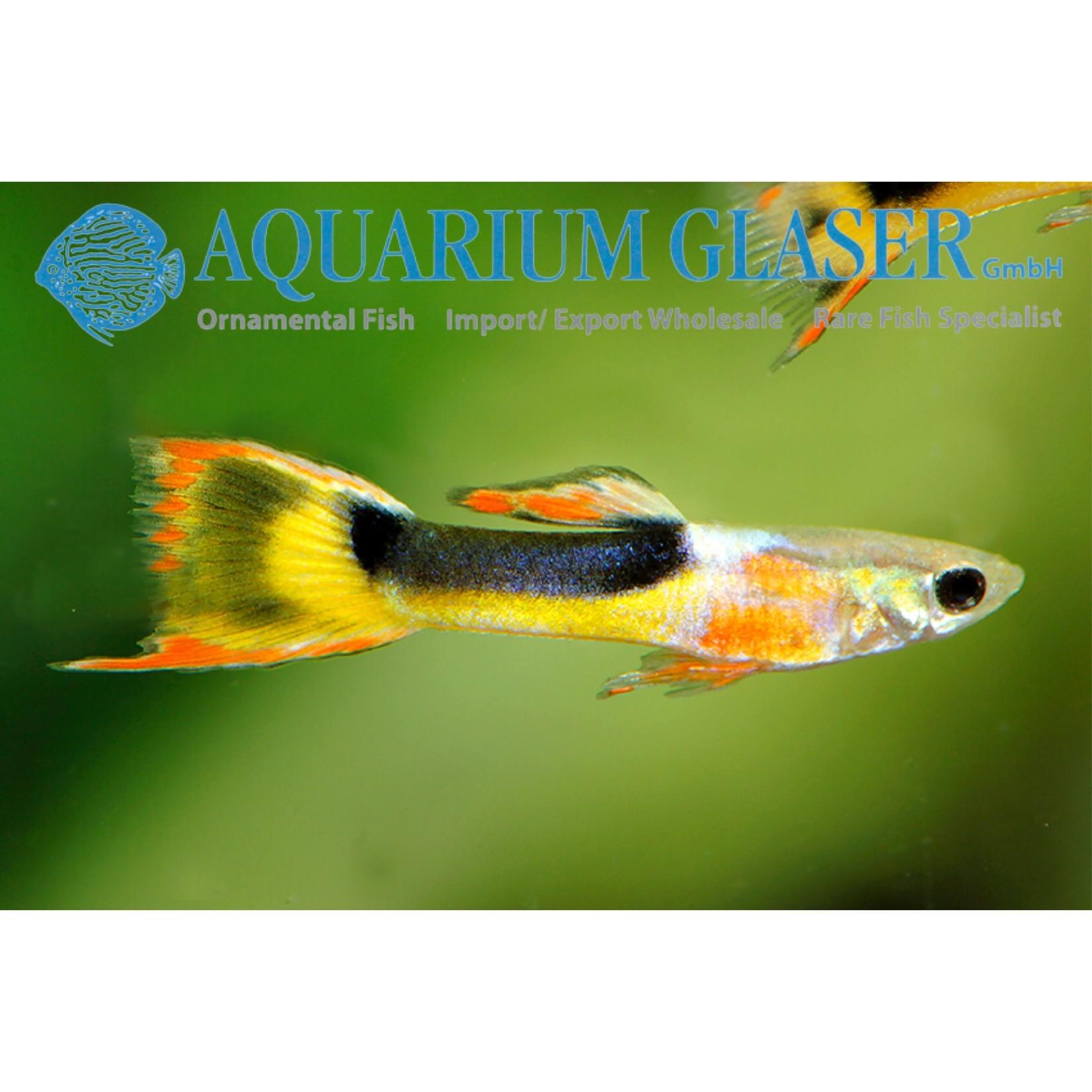 Bubba's Fishs Guppy Endler - Red Chest Saddleback