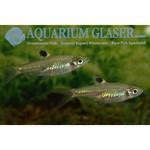 Bubba's Fishs Rasbora A  ocelle - Brevibora dorsiocellata