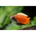 Bubba's Fishs Colisa chuna - Honey Gourami
