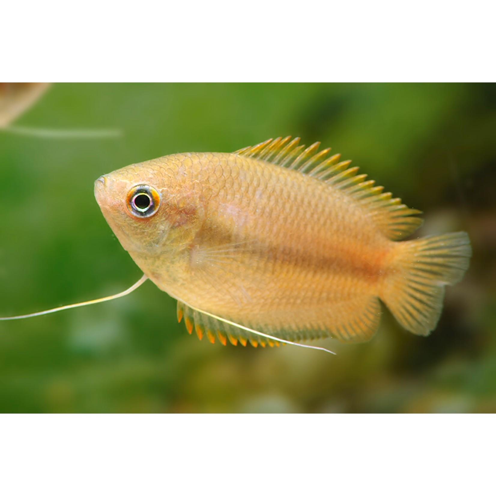 Bubba's Fishs Colisa chuna - Honinggoerami