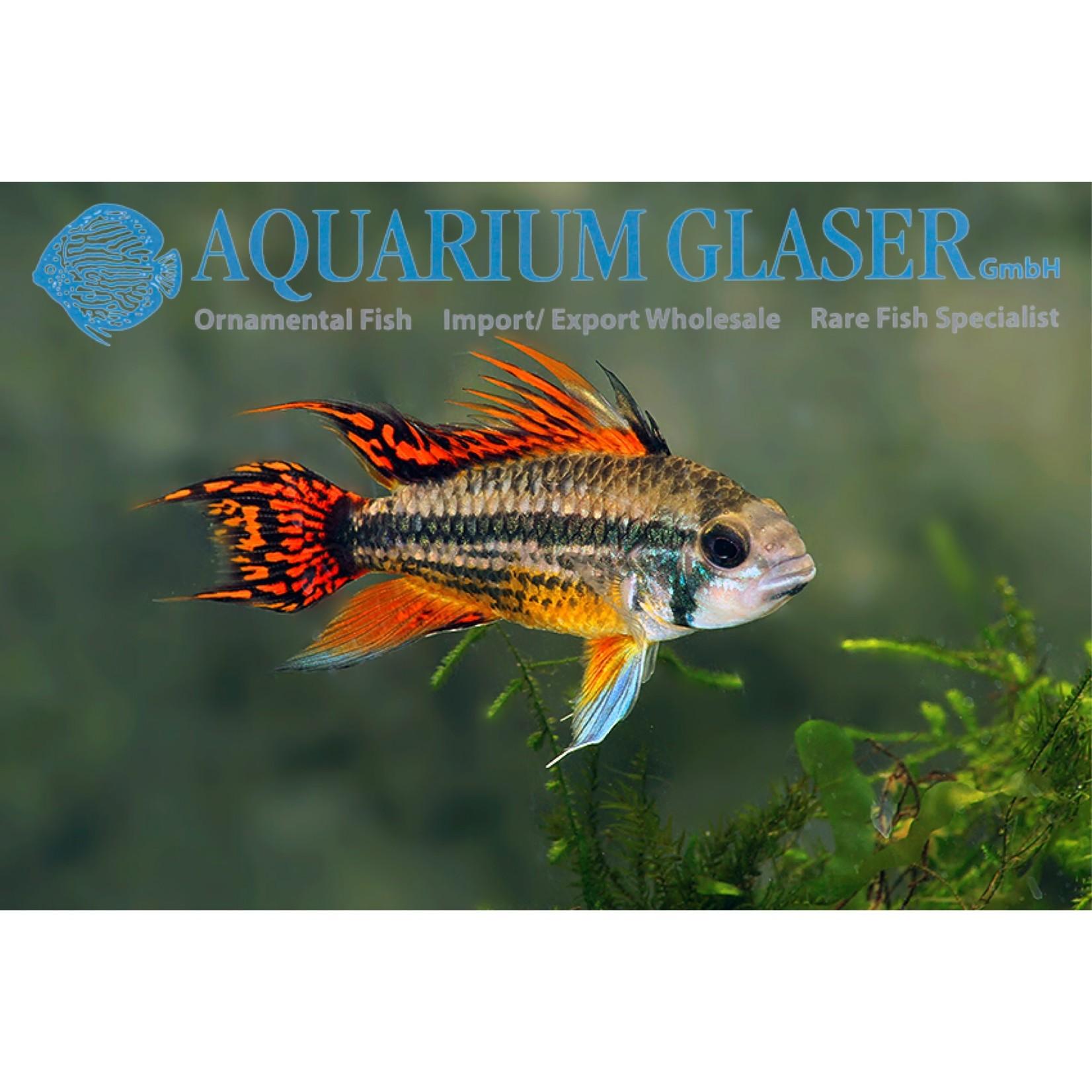 Bubba's Fishs Apistogramma Cacatuoides Double Red