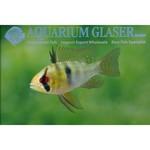 Bubba's Fishs Mikrogeophagus ramirezi