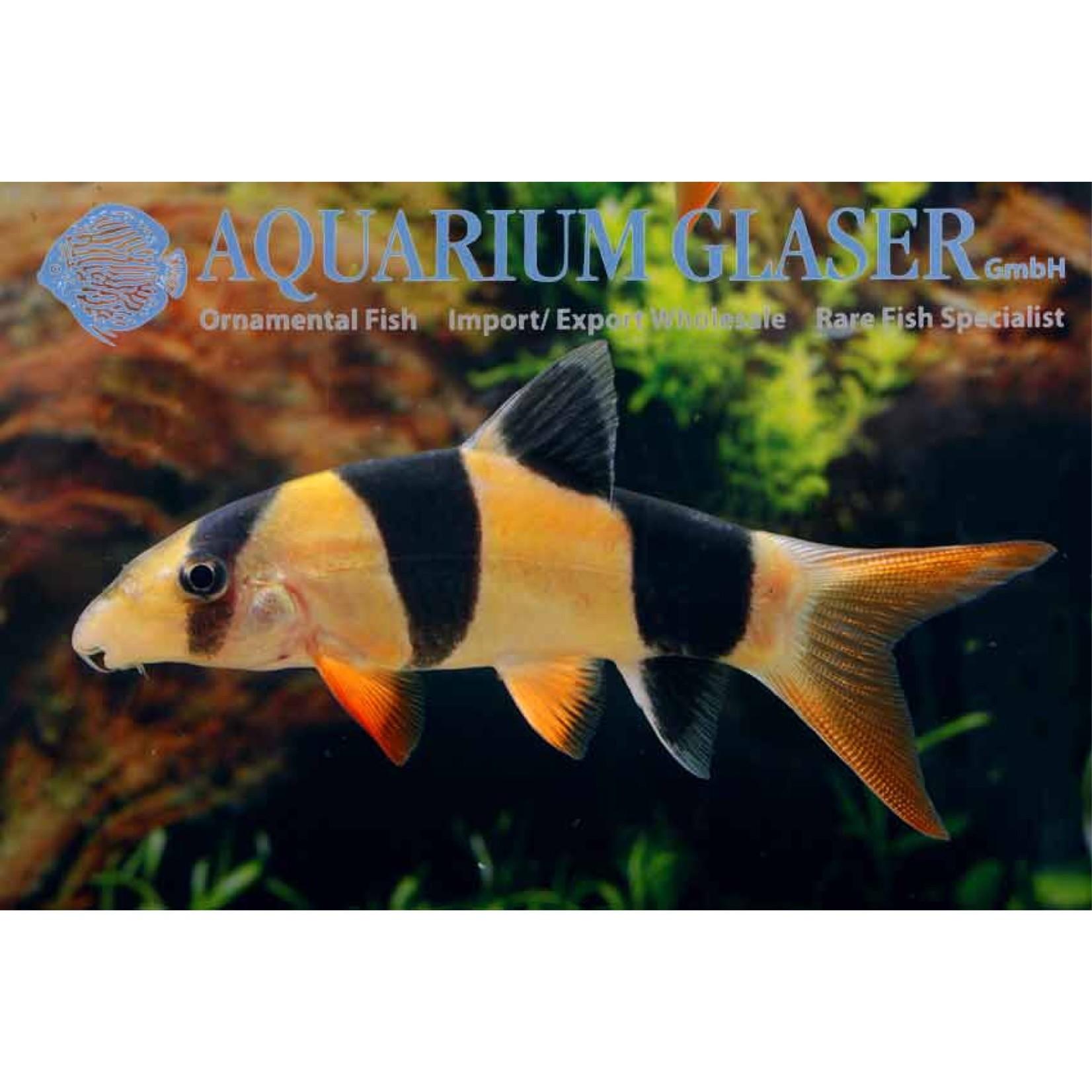 Bubba's Fishs Botia macracanthus
