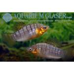 Bubba's Fishs Limia nigrofasciata