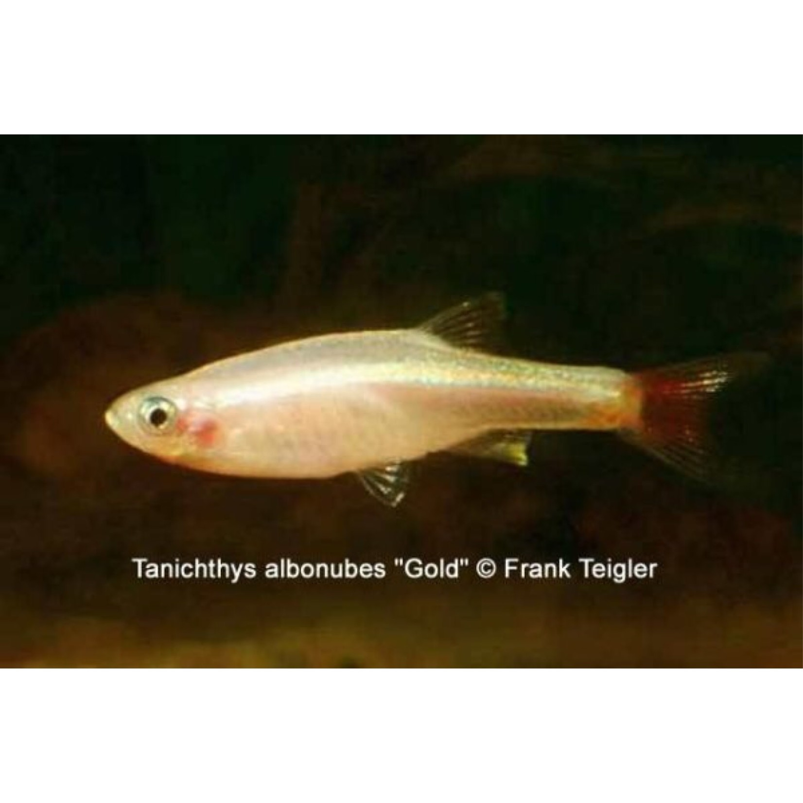 Bubba's Fishs Tanichtys albonubes goud