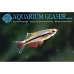 Bubba's Fishs Tanichthys micagemmae