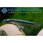 Bubba's Fishs Stiphodon semoni undio blue