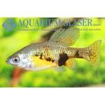 Bubba's Fishs Skiffia multipunctata