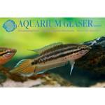 Bubba's Fishs pseudophronemus dayi