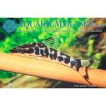 Bubba's Fishs Otocinclus Cocama