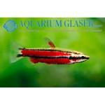 Bubba's Fishs Nannostomus rubrocaudatus