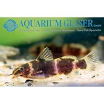Bubba's Fishs Microsynodontis Batesii