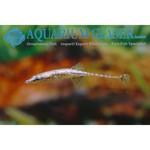 Bubba's Fishs Indostomus paradoxus