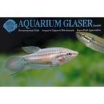 Bubba's Fishs Gourami grogneur - Trichopsis vittata