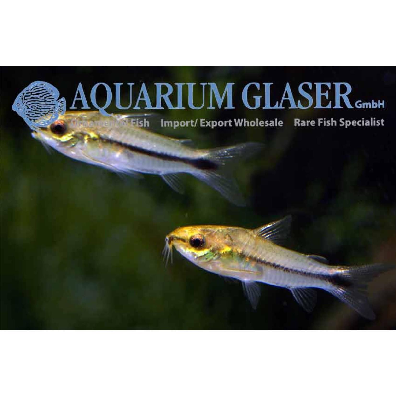 Bubba's Fishs Corydoras pygmaeus