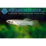 Bubba's Fishs Aplocheilichthys Normani