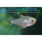 Bubba's Fishs Pristella maxillaris - Chardonneret d'eau