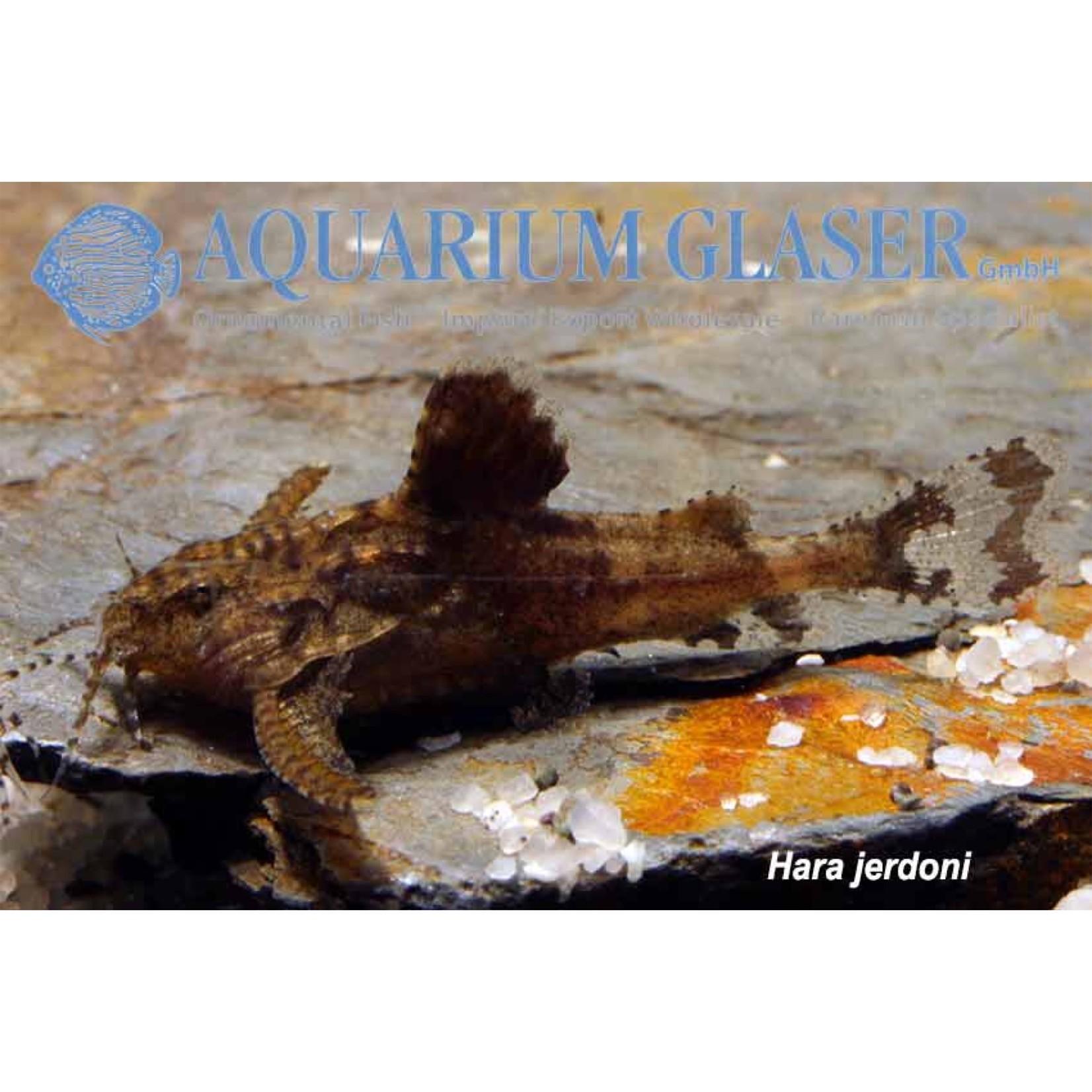 Bubba's Fishs Hara Jerdoni - Micro poisson-chat