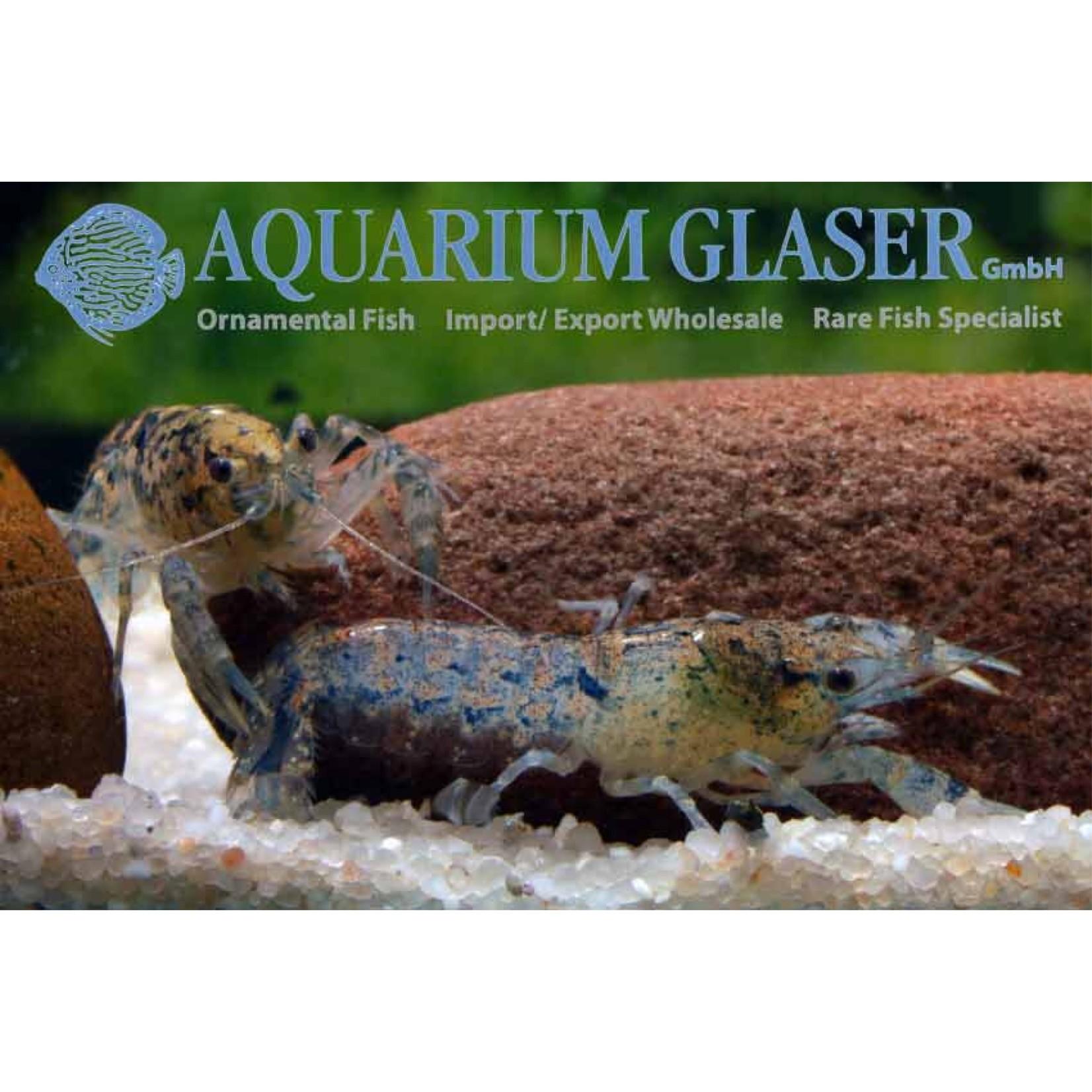Bubba's Crayfish Ecrevisse Naine - Cambarellus diminutus
