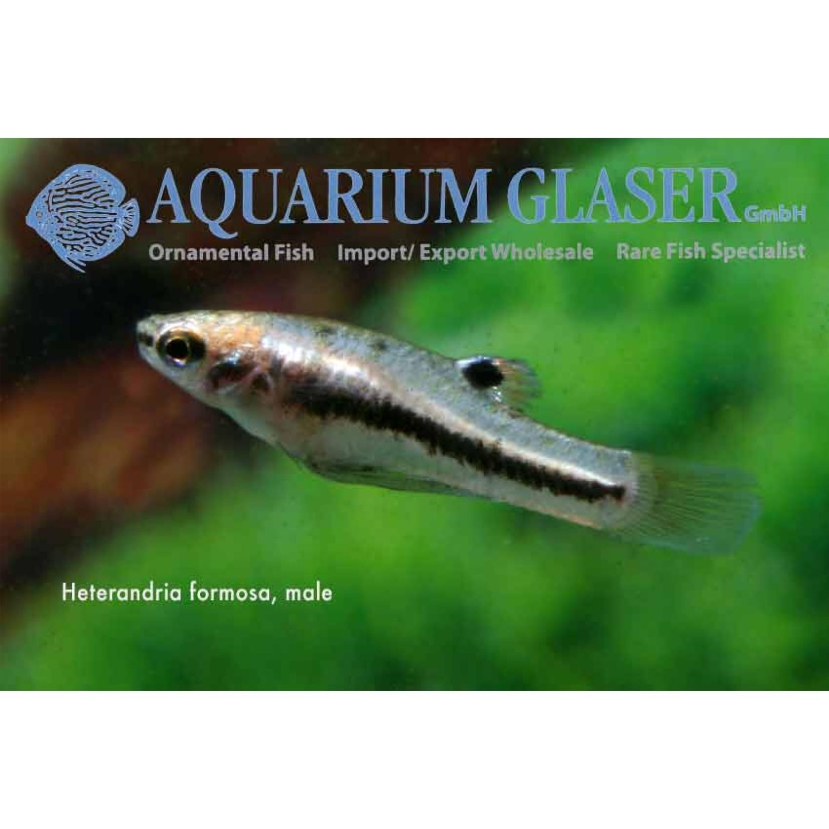 Bubba's Fishs heterandria formosa - Muggenvis