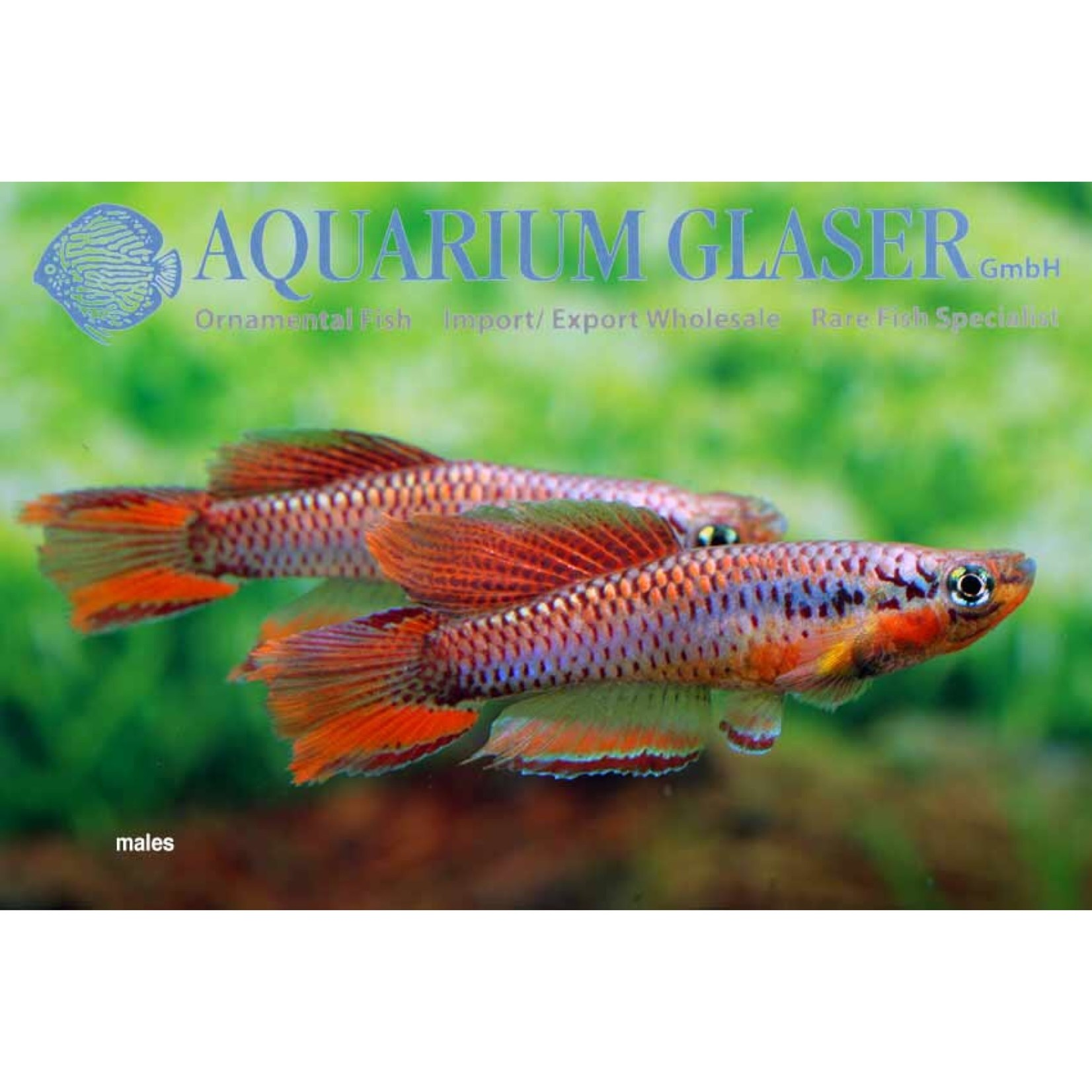 Bubba's Fishs Chromaphyosemion bitaeniatum Lagos Red